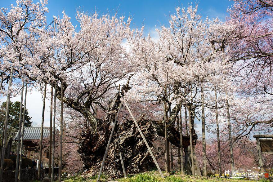 H «Yamataka Jindai Sakura», το μεγαλύτερο σε ηλικία δέντρο κερασιάς στην Ιαπωνία